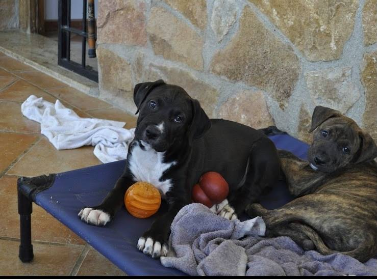 ONYX …mix breed PUPPY(RESERVED)